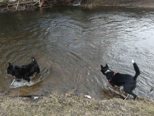 collies going for a swim in Goyt