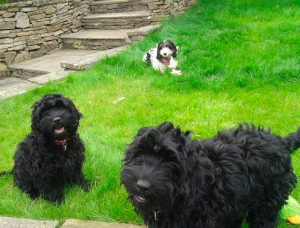 the three b's Betty Bridie and Bobbie all cockapoo's